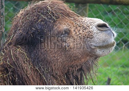 Close up of the head of a Bactrian camel