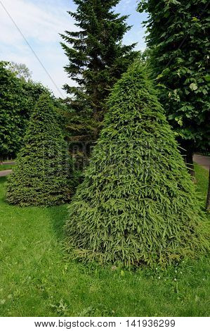 Beautiful green cone-shaped spruce trees in summer