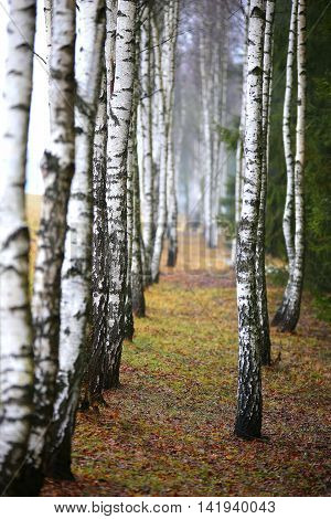 Autumn Birch At Misty Morning
