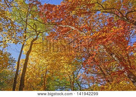 Looking up into Fall Colors in Backbone State Park in Iowa