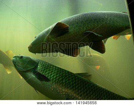 Freshwater fish carp, floating in the aquarium, Underwater World