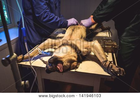 two doctors vet in blue uniform with gloves and operate a dog on the operating table