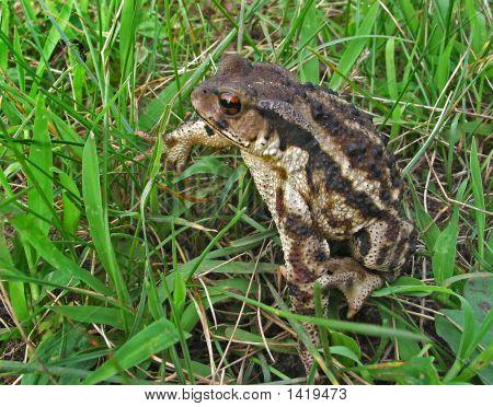 Far-Eastern Toad (Bufo Gargarizans)
