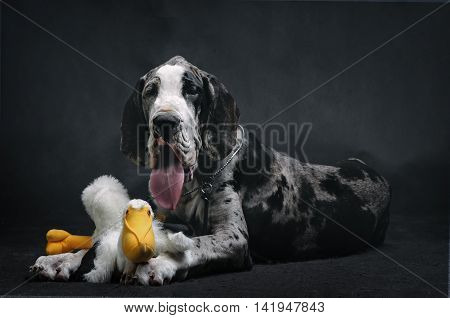 Portrait of a beautiful dog with a toy on a black background
