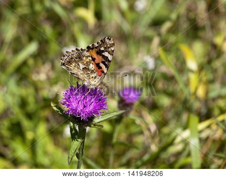 a painted lady butterfly cynthia cardui on a knapweed flower in summer