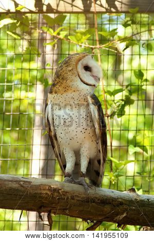 Barn Owl standing on a tree limb looking to the side