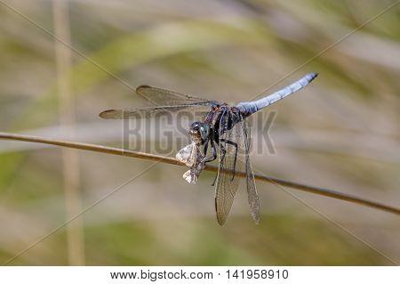 Male Keeled Skimmer dragonfly (Orthetrum coerulescens) feeding on a moth