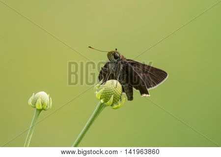 Dun Skipper Euphyes vestris perched on a plant in a prairie.