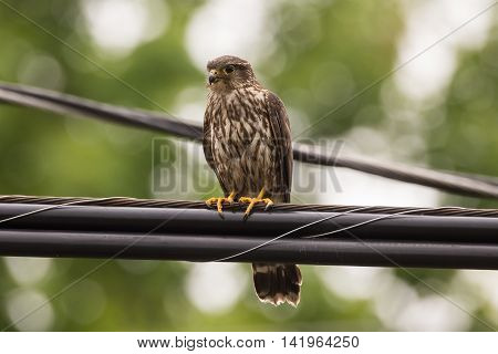 A Merlin falcon perched on a power line in Door County Wisconsin.