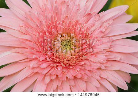 Pink Transvaal daisy or Gerbera close up