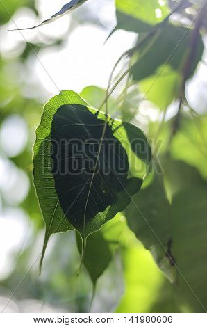 Bodhi Leaf from the Bodhi tree Sacred Tree for Hindus and Buddhist.