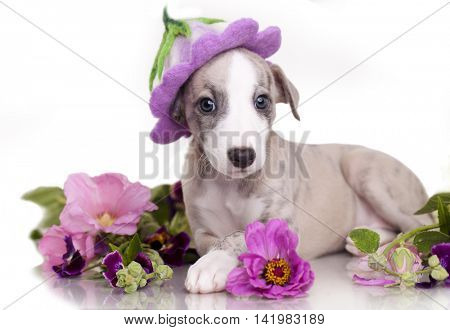 whippet  puppy  in hat felting Felt hat