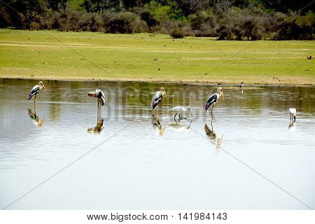 Painted Stork Bird - Large wading bird