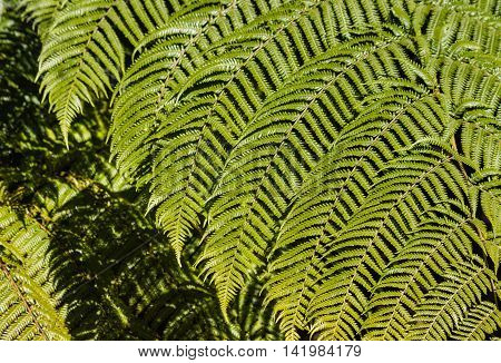 close up of fresh silver fern fronds