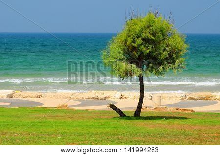 Lonely tree at the coastal park of Tel Aviv. Israel.