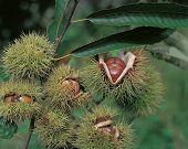 Gaping chestnut bur poster