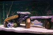 Freshwater Aquarium Containing Petrified Wood South American and African Cichlids poster
