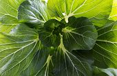Bok choy or pak choi (Brassica chinensis) is a type of Chinese cabbage with smooth dark green leaf blades forming a cluster poster