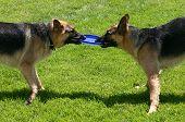 Two German shepherds play tug of war. poster