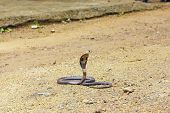 King Cobra Ophiophagus hannah. The world's longest venomous snake. Venomous snake prepares for attack. Cobra Hooded dangerous snake. poster