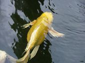 Gold(en) japanese carp in pond of the zoo New York USA poster
