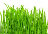 Fresh grass with dew drops isolated on white poster