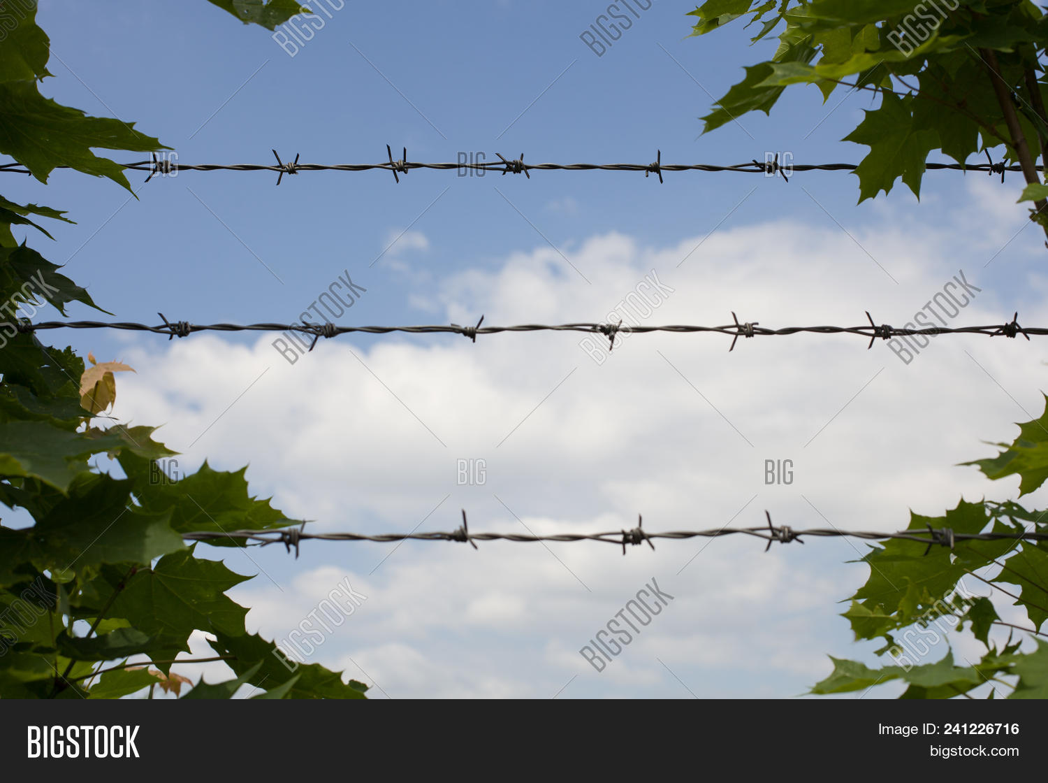 Barbed Wire Green Leaves.maple Image & Photo | Bigstock