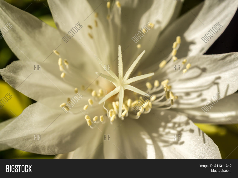 Macro White Flower Image Photo Free Trial Bigstock