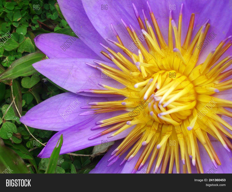 Bright Lotus Flower Image Photo Free Trial Bigstock