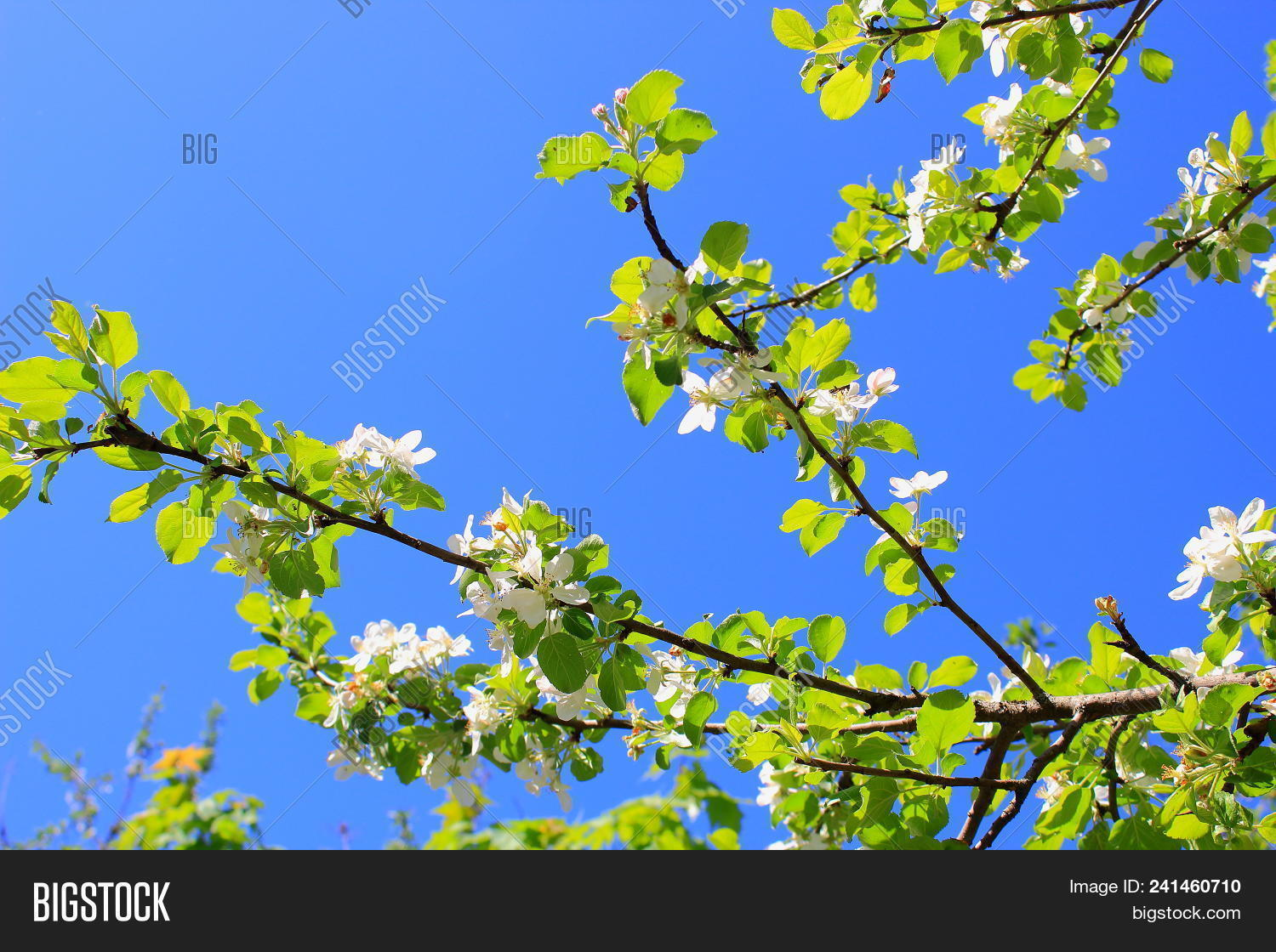 White Flowers On Sky Image Photo Free Trial Bigstock
