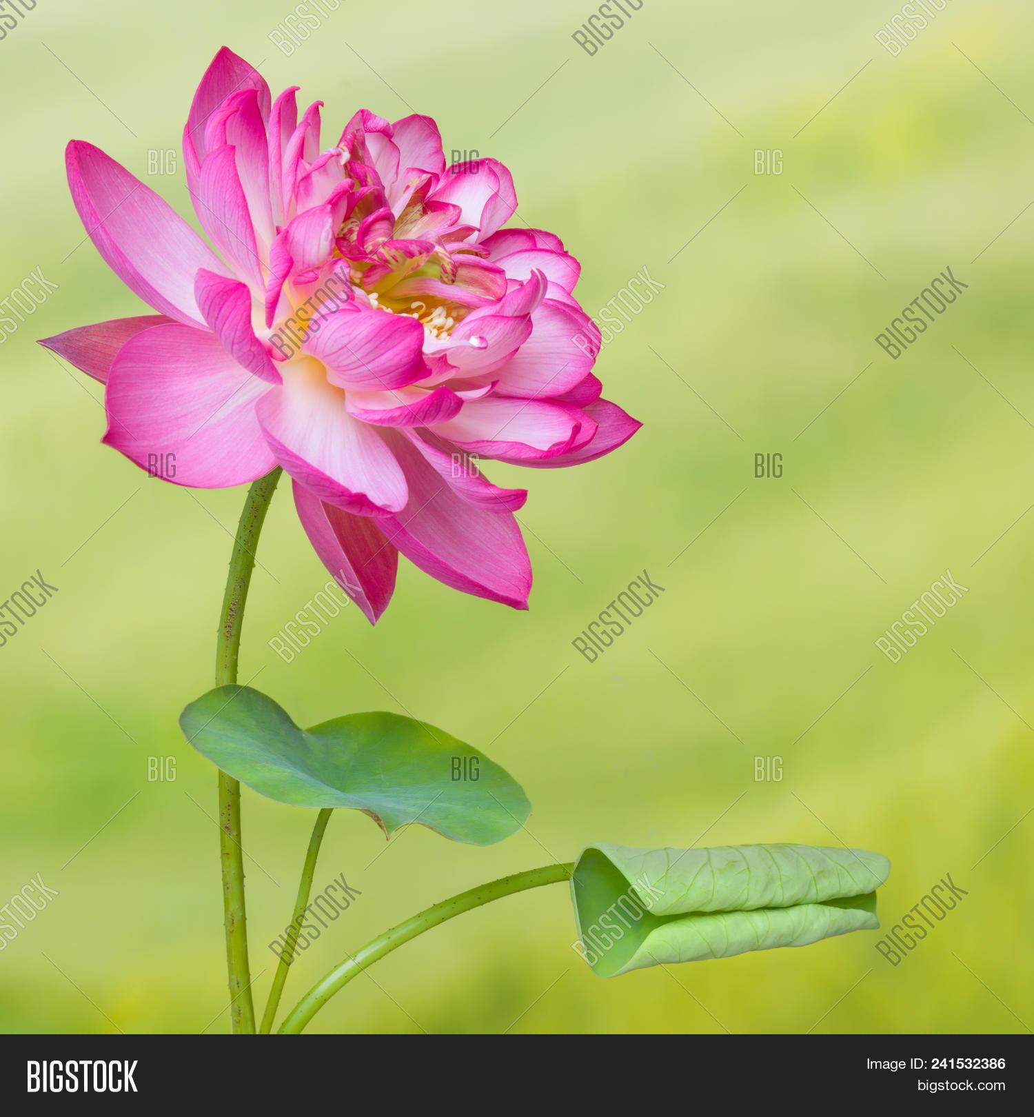 Full bloom lotus image photo free trial bigstock full bloom of a lotus flower named lotus nelumbo elite red izmirmasajfo