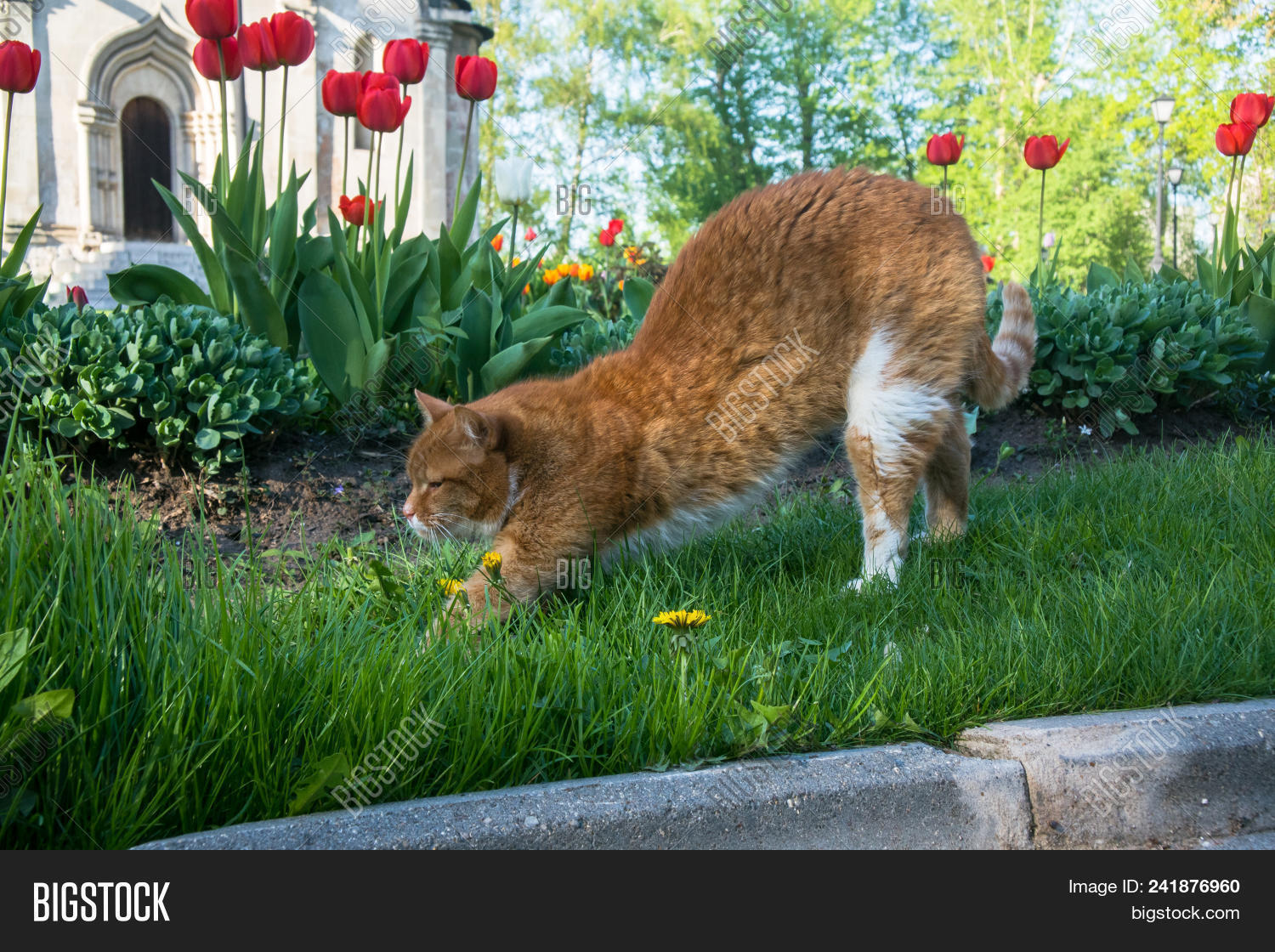 A Lazy Red Cat Relaxing In Flower Bed Between Bright Blooming Tulips