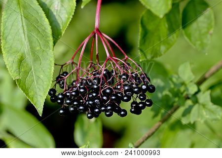 Ripe Berries Of Black Elderberry (sambucus) In Late Ripe Ripe Berries Of Black Elderberry (sambucus)