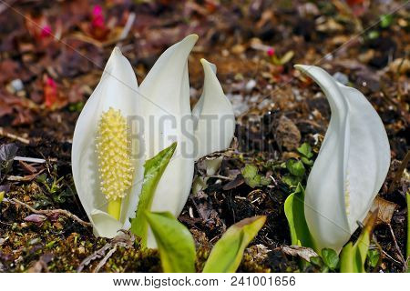 Blossom Of East Asian White Mock Calla (lysichiton Camtschatcensis). The White Mock Calla, Also Know