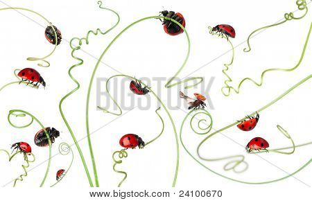 Seven-spot ladybird or seven-spot ladybug on Larger Bindweed, Coccinella septempunctata, in front of white background