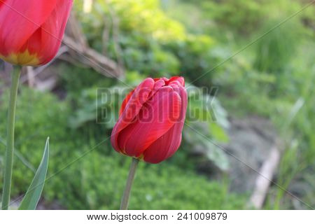 Red Tulip With Closed Cup. Tulip Petals Closed Befor Opening In Blossom. Tulips In The Garden.