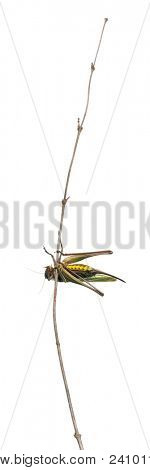 Female wart-biter, a bush-cricket, Decticus verrucivorus, in front of white background