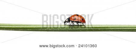 Seven-spot ladybird or seven-spot ladybug, Coccinella septempunctata, on plant stem in front of white background
