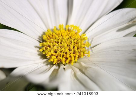 Yellow Anthers Encircled By White Flower Petals