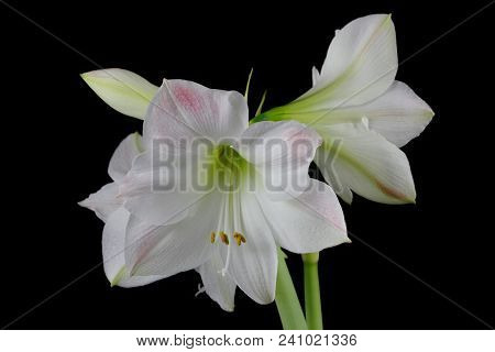 Close-up Of Winter-flowering White Amaryllis Flower On The Black Background. Macro Photography Of Na