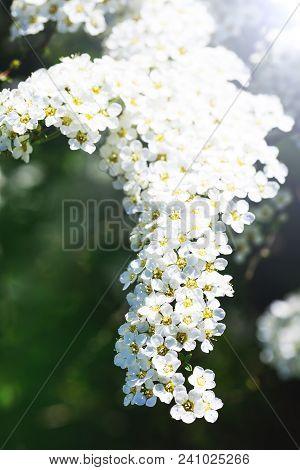 Spiraea Cinerea. White Alyssum, Fragrant Flower Garden. Gray Grefsheim, Spiraea Cinerea Zabel, Bloss