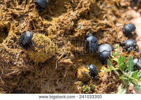 Close Up Group Of Scarabaeus Sacer Of Sacred Scarab In Dung