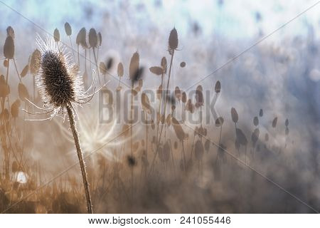 Autumn Thistle In A White Contour Of Dawn Light, With A Multi Layered Effect, Through Different Focu