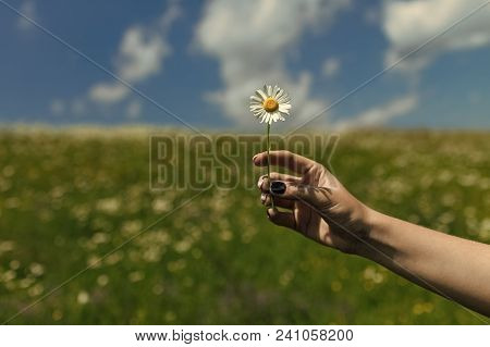 Summer, Love, New Life, Skincare, Spa. Chamomile Flower In Hand, Nature, Environment. Womens Day, Mo