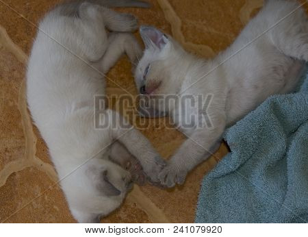 Play Time: Two Cream Siamese Kittens Playing With Each Other