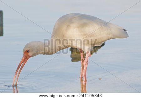 Breakfast At The Wild Bird Center: White Ibis Feeding In The Shallow Ocean Waters In Islamorada, Flo