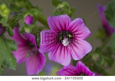 Morning Delight: Purple Flowers In The Garden, France