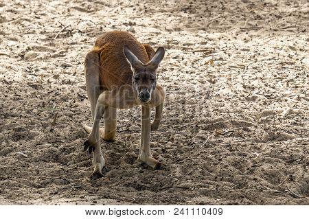 Big Kangaroo Standing On The Ground In The Zoo