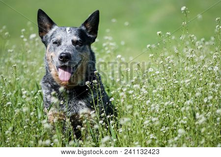 Portrait Of Australian Cattle Dog Among White Small Flowers. Happy Purebred Dog Sitting On A Beautif
