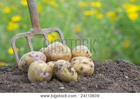 Pile Of Freshly Harvested Potatoes With Garden Folk.